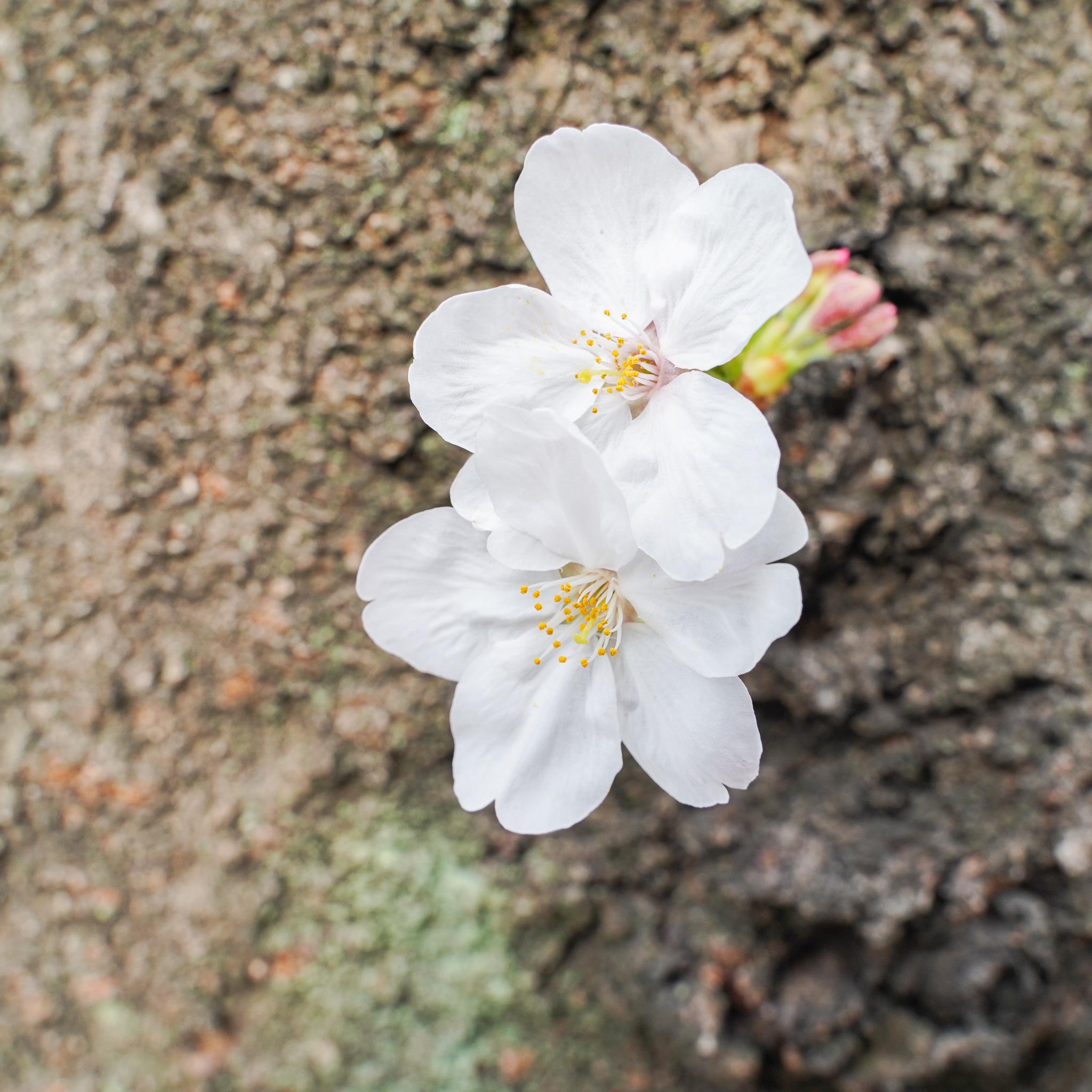 桜が咲きはじめた